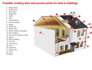 Examples of roosting and access points for bats in buildings