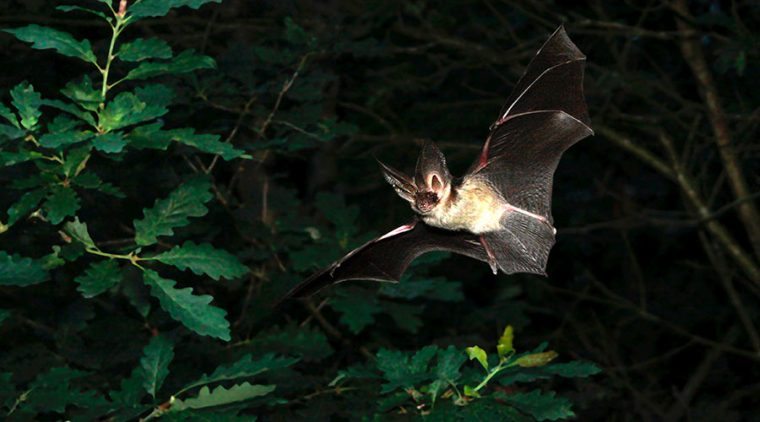 Brown Long-eared Bat in flight