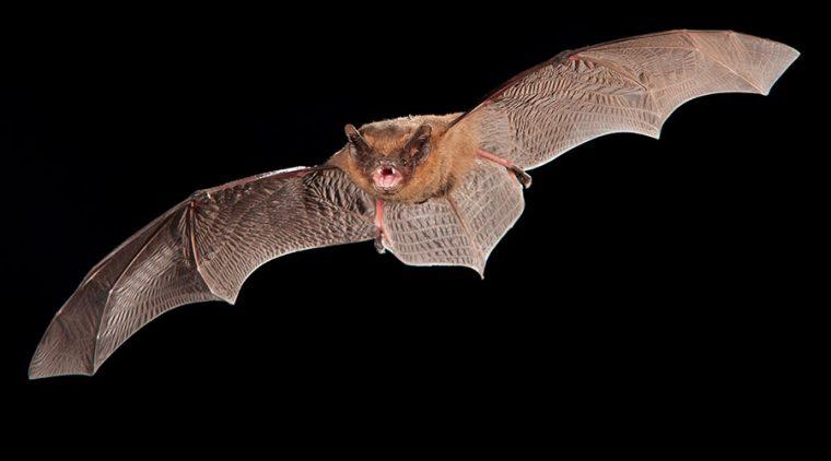 Common Pipistrelle in flight