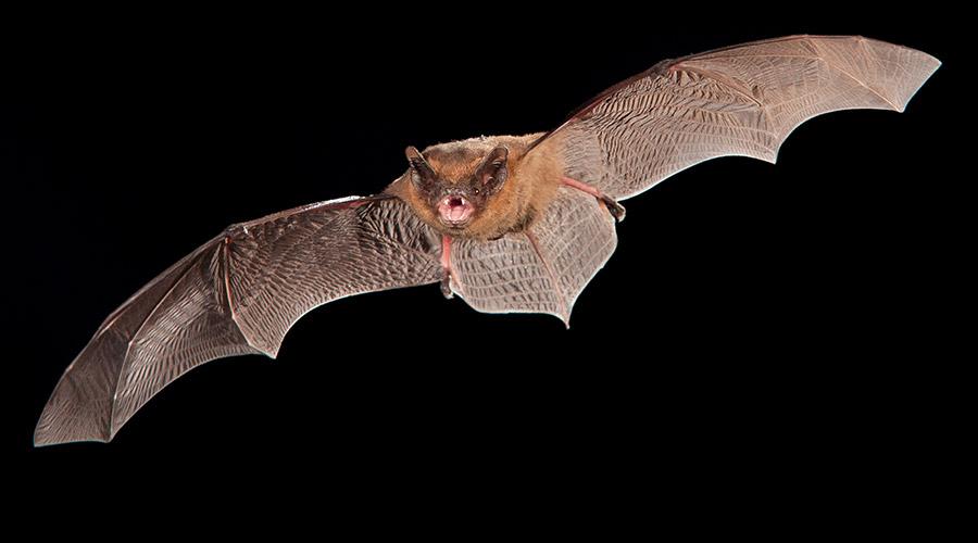 common pipistrelle and soprano pipistrelle bat conservation ireland