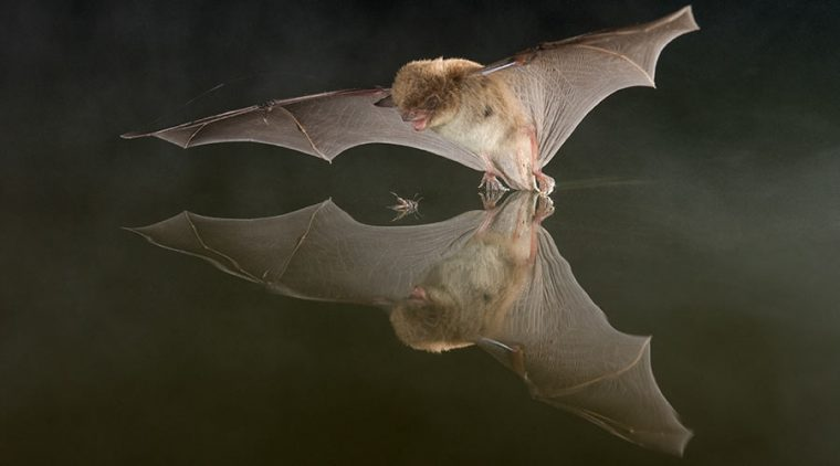 Daubenton's Bat catching an insect on water surface