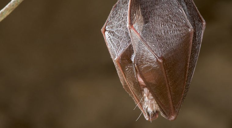 Lesser Horseshoe Bat hibernating