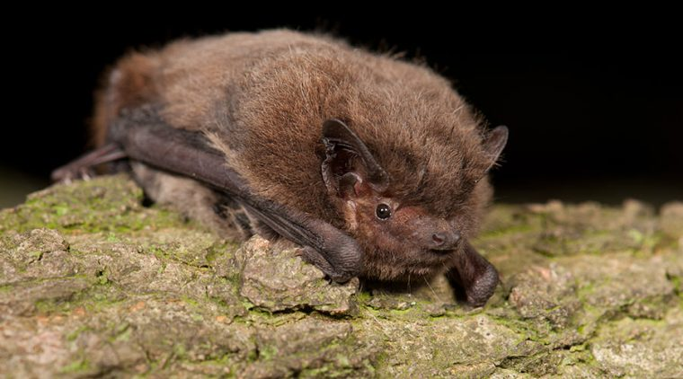 Nathusius' Pipistrelle on a branch