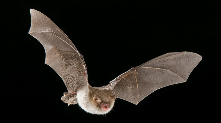 Natterer's Bat in flight