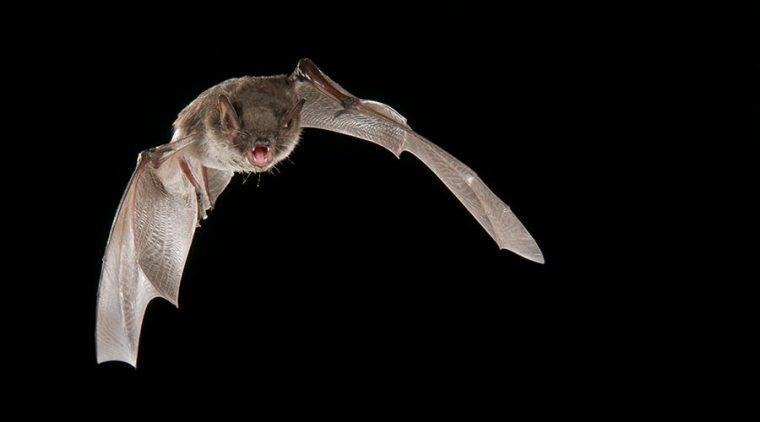 Whiskered Bat in flight