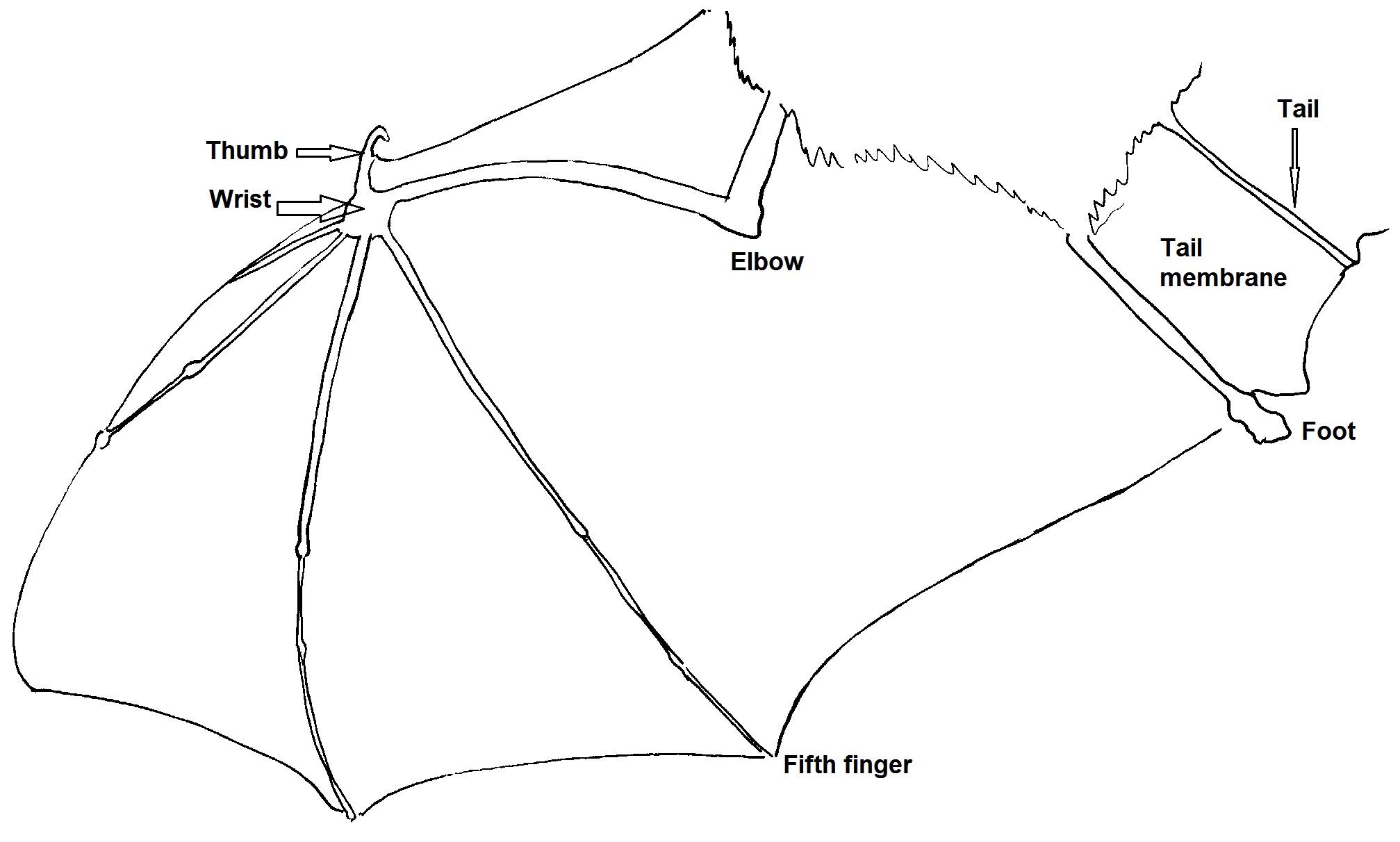Bat Wing Diagram