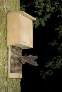 Daubenton's bat; Myotis daubentonii